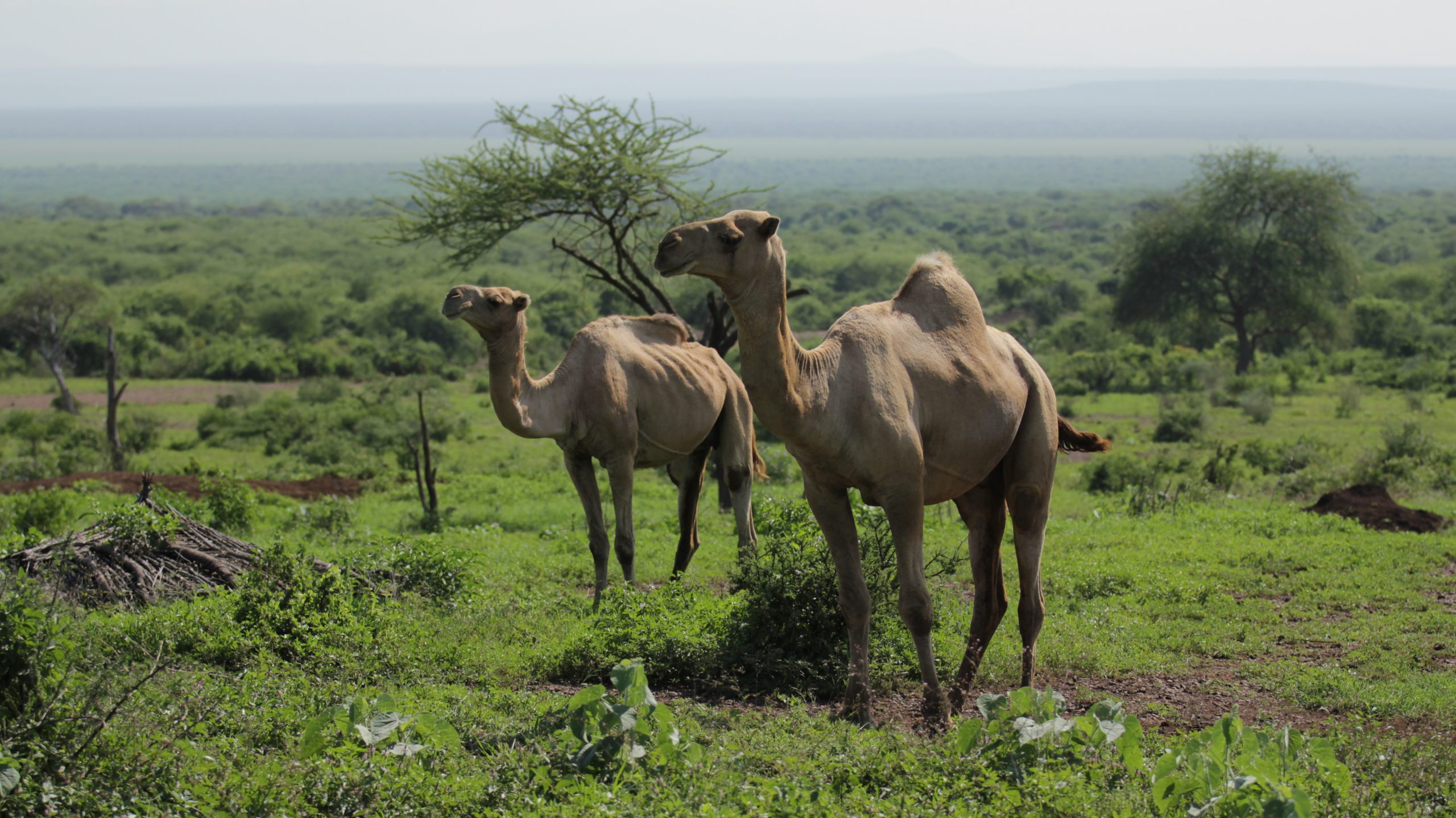 Camels sorrouded by nature.